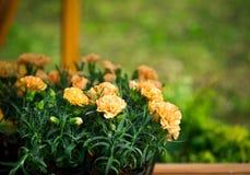 Brzoskwinia barwił goździki w ogrodowych garnkach, kwiatu tło Obrazy Royalty Free
