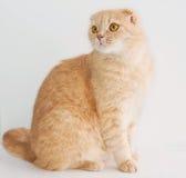 Brzoskwinia fałdu kota Szkocki obsiadanie Fotografia Stock