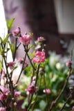 Brzoskwinia kwiat Zdjęcia Stock