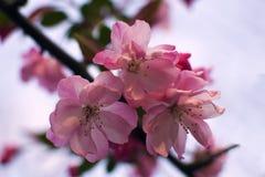 Brzoskwinia kwiat zdjęcie royalty free