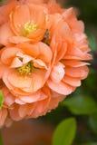 Brzoskwinia kwiat, przygotowywający dla wiosny Fotografia Royalty Free