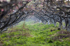 Brzoskwinia kwiatu las Zdjęcia Royalty Free