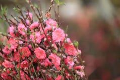 Brzoskwinia kwiatu okwitnięcie Obraz Stock