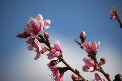 Brzoskwinia kwiaty Zdjęcie Stock