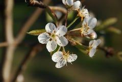 Brzoskwinia kwiaty Obrazy Stock