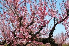 Brzoskwinia kwitnie na gałąź Zdjęcia Royalty Free