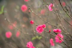 Brzoskwinia kwitnie symbol Wietnamski księżycowy nowy rok obrazy royalty free