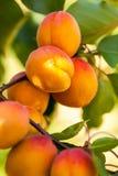 Brzoskwinia (Prunus persica) Obrazy Stock