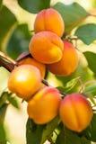 Brzoskwinia (Prunus persica) Fotografia Stock