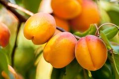 Brzoskwinia (Prunus persica) Zdjęcia Royalty Free