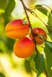 Brzoskwinia (Prunus persica) Zdjęcie Royalty Free