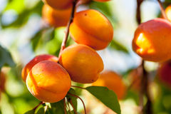 Brzoskwinia (Prunus persica) Obraz Royalty Free