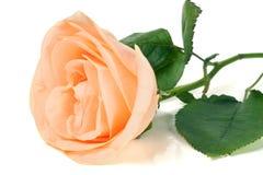 Brzoskwinia wzrastał z liśćmi odizolowywającymi na białym tle Obraz Royalty Free