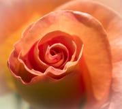Brzoskwinia Wzrastał od lokalnych ogródów botanicznych fotografia royalty free