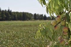 Brzoskwinie wiesza od gałąź na drzewie Zdjęcia Royalty Free