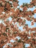 Brzoskwiniowy Zapalony obwieszenie w niebie zdjęcie royalty free