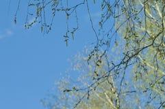 Brzoz bazie z pollen zdjęcie stock