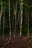 Brzoz drzew Algonquin Lasowy park obraz stock