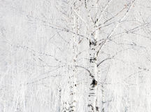 brzoz drzewa Fotografia Royalty Free