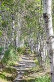 Brzoz drzewa Obrazy Royalty Free