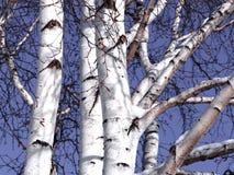 Brzoz drzewa Obraz Royalty Free