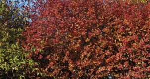 Brzoz drzewa i Czarny Chokeberry zbiory