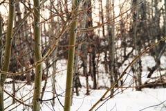 Brzoz drzewa w górach Zdjęcia Stock