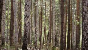 Brzoz drzewa w jaskrawego światła słonecznego bagażnikach brzoz drzewa w birchwood birchwood błyszczał słońce Pokój i zaciszność  fotografia stock