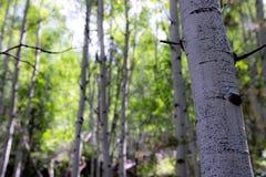 Brzoz drzewa w lesie zdjęcie stock