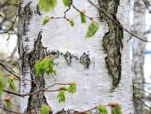Brzoz drzewa w lesie Obraz Stock