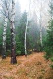 Brzoz drzewa w pięknej scenerii w lesie wciąż fotografia royalty free