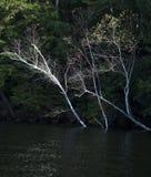 Brzoz drzewa w wodzie przy jeziorną linią brzegową obraz stock