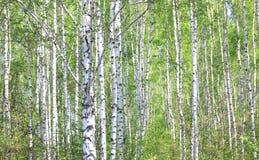 Brzoz drzewa z zieleń liśćmi w lecie Zdjęcie Royalty Free