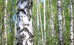Brzoz drzewa z zieleń liśćmi w lecie Fotografia Stock