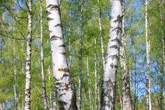 Brzoz drzewa z zieleń liśćmi w lecie Obrazy Stock