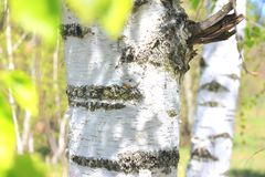 Brzoz drzewa z zieleń liśćmi w lecie Obrazy Royalty Free