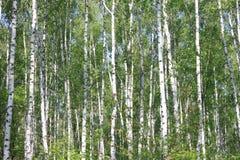 Brzoz drzewa z zielenią opuszczają w lecie w pogodnej pogodzie Obraz Royalty Free