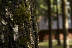 Brzoza bagażnik, mech na drzewie, drzewa obraz stock