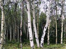 Brzoza drzewni bagażniki w Alberta Skalistych górach Obraz Royalty Free