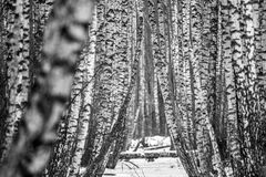 Brzoza Drzewnych bagażników tło Obrazy Stock