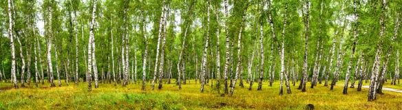 Brzoza gaj na pogodnym letnim dniu, krajobrazowy sztandar zdjęcie royalty free