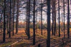 Brzoza gaj w jesieni zdjęcia stock