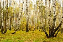 Brzoza gaj w jesieni fotografia stock