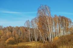Brzoza gaj w jesieni Zdjęcie Stock