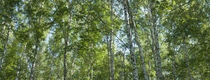 Brzoza gaj w lecie, górne gałąź drzewo -- lato sztandar, panorama Zdjęcia Stock