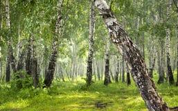 Brzoza gaj w lesie fotografia stock