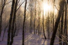 Brzoza gaj w zimie Fotografia Royalty Free
