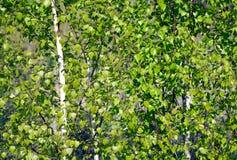 Brzoza gaj z zielonymi liśćmi, biali drzewni bagażniki w świetle słonecznym dla tła obraz stock