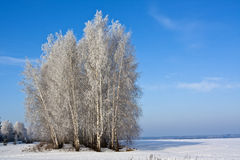 Brzoz drzewa w polu Zdjęcia Royalty Free