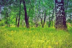 Brzoza gaju lata dandelions pola kwiatów żółty krajobraz Obraz Stock